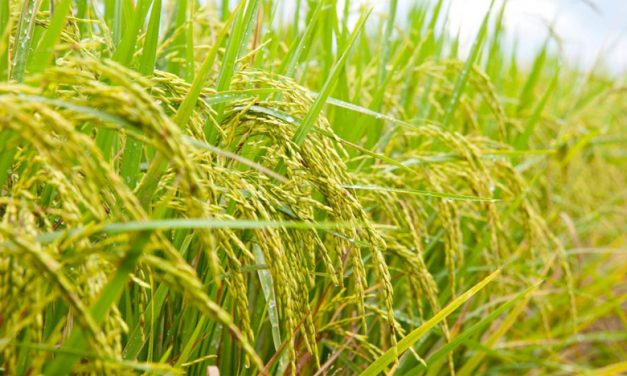 Origins of Rice in India