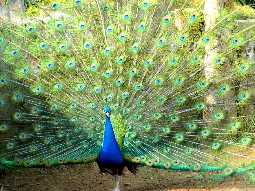 Peacock_feather1