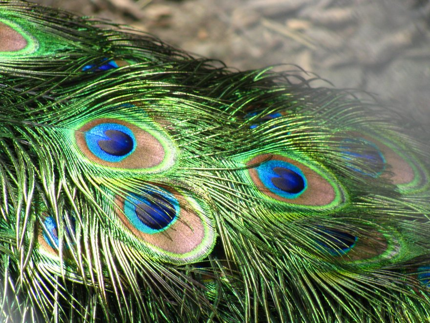 Peacock_feathers2