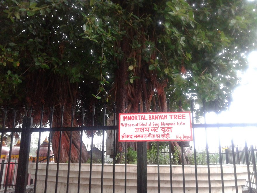 baniyan tree5