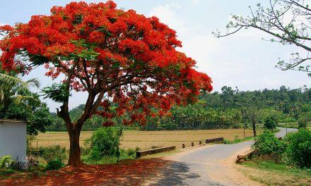 My Friend the Gulmohar Tree