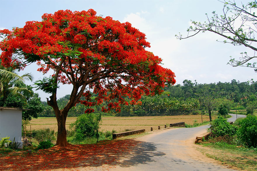 My Friend the Gulmohar Tree