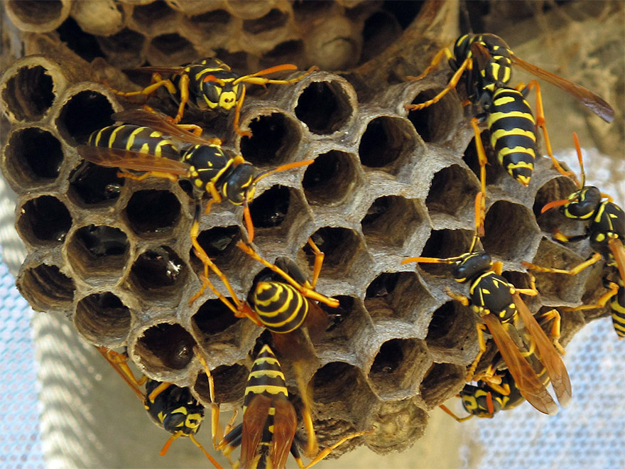 Kita-Bhringi-Nyaya: The Maxim of the Trapped Worm and the Wasp