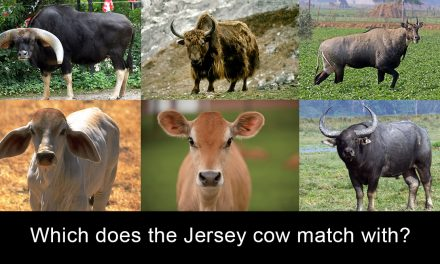 Are Western Breed Cows Actually Cows?